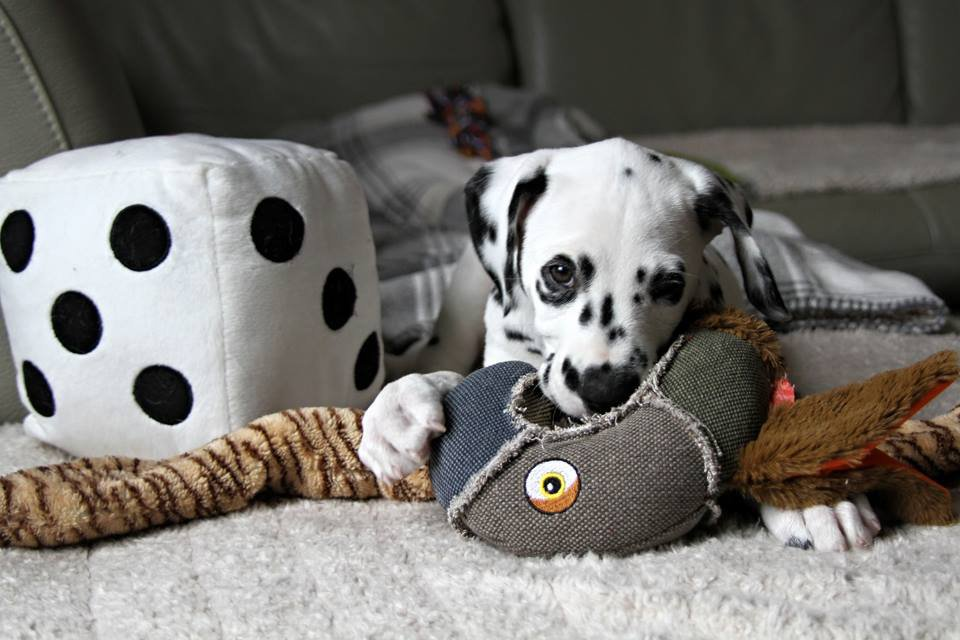 Humphrey the Dalmatian as a tiny puppy with toys