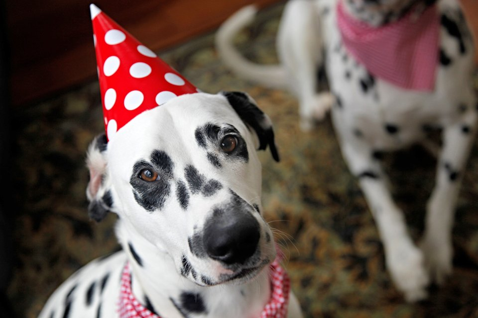 Humphrey the Dalmatian in a polka dot birthday hat