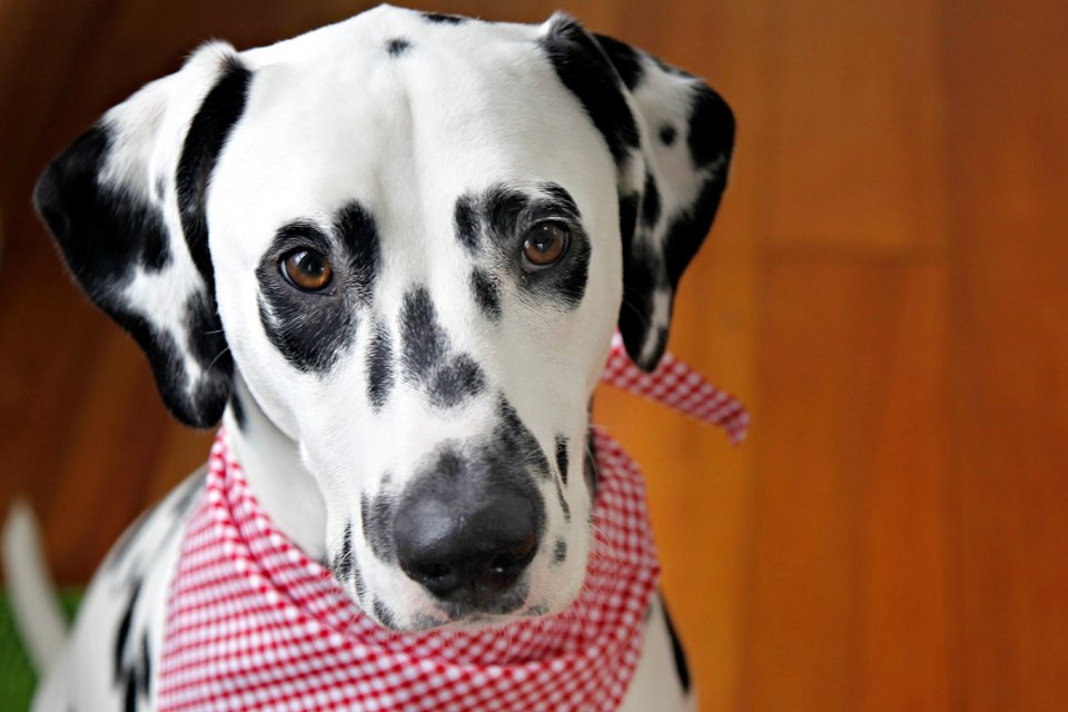 Humphrey the Dalmatian puppy's first birthday party