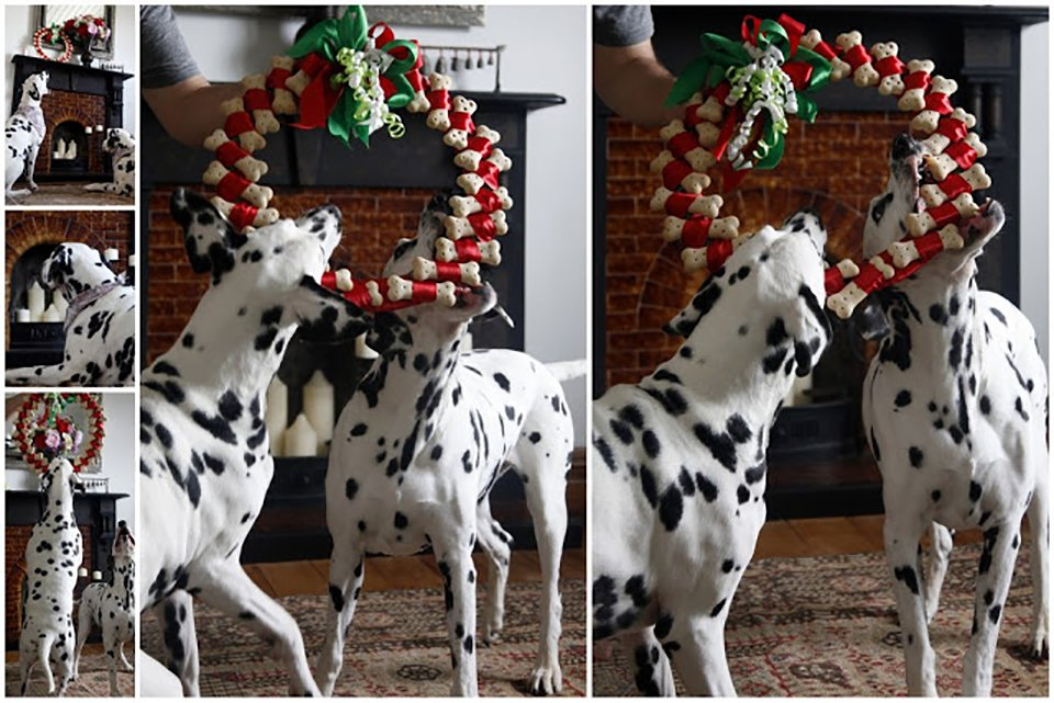 Dalmatian dogs with homemade dog treat wreath