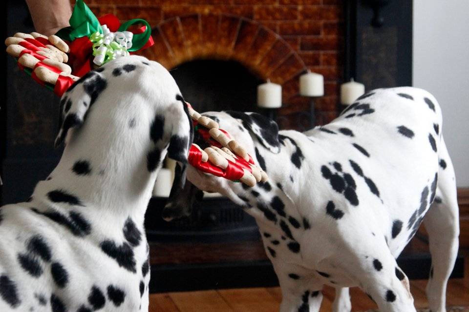 Dalmatian dogs nibbling on dog treat bone Christmas wreath a