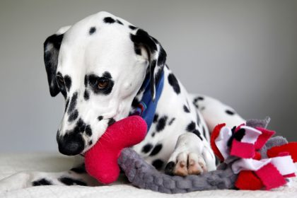 Dalmatian dog playing with DIY Valentine's Day tug and squeaker Cupid's arrow toy