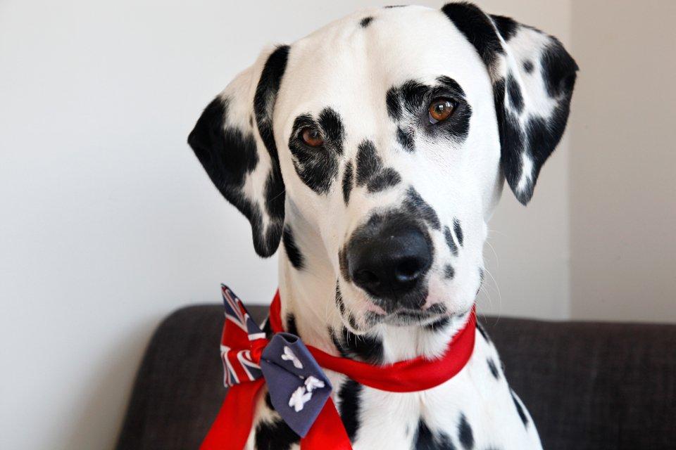 Dalmatian dog wearing a DIY Australian flag bow tie