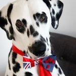 Dalmatian dog wearing a DIY New Zealand flag bow tie