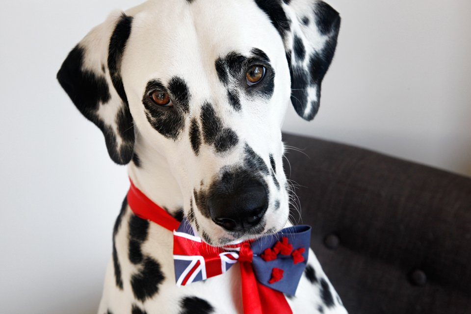 Dalmatian dog wearing a DIY New Zealand flag bow tie