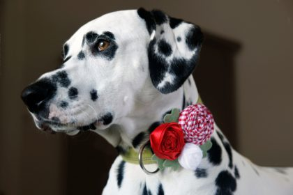 DIY rolled fabric and ribbon flower rosette dog collar decorations