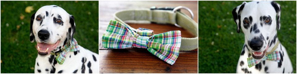 Dalmatian dogs wearing DIY over the collar plaid bow ties