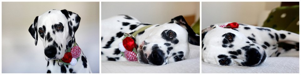 Dalmatian dog rolling around in fancy flower collar