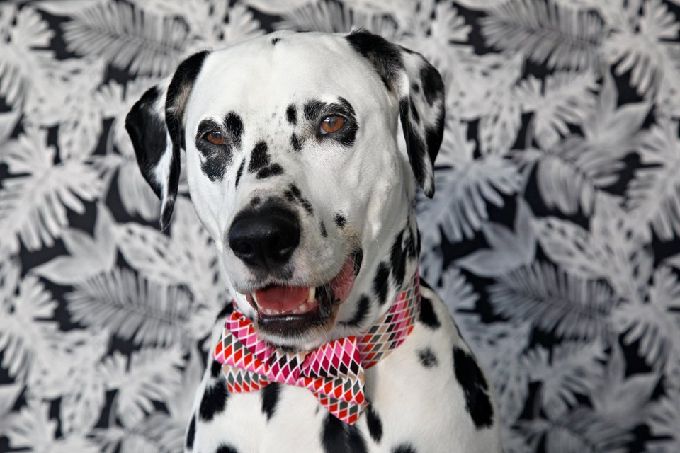 Dalmatian dog wearing a homemade bow tie and collar