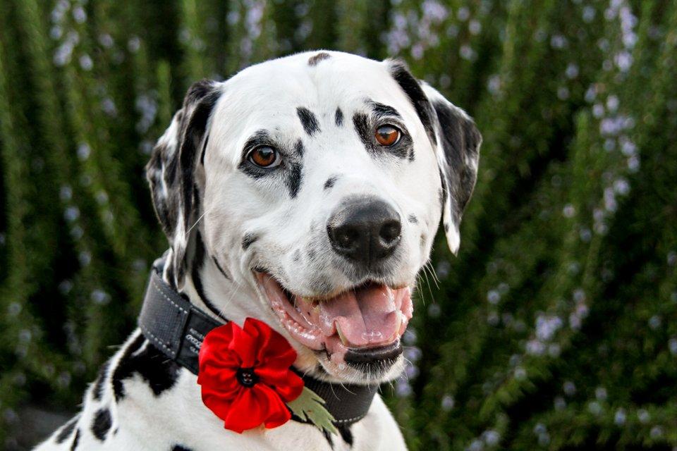 DIY dog collar remembrance poppy