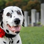 DIY dog collar remembrance poppy