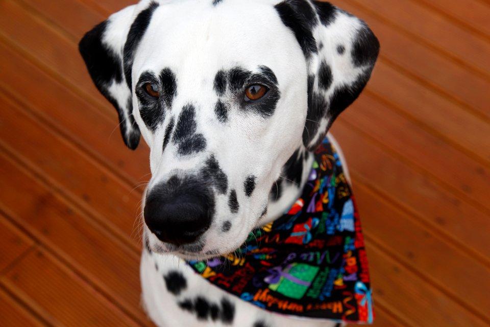 Dalmatian dog wearing a birthday bandana