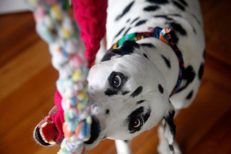 Dalmatian dog in birthday bandana playing with fleece tug toys