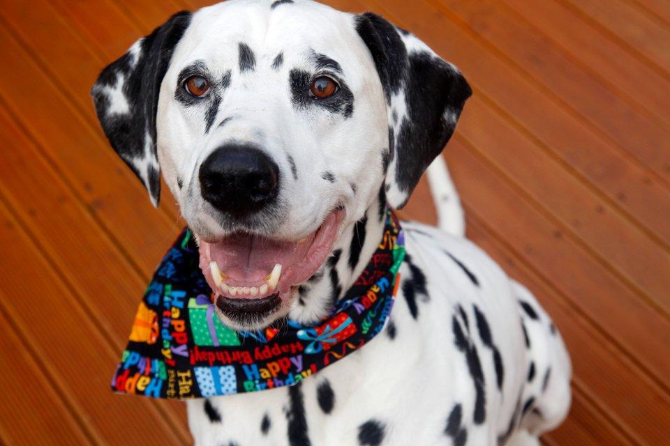 Smiling Dalmatian dog wearing a birthday bandana
