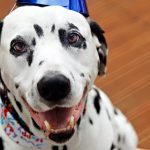 Oli the Dalmatian dog's 10th birthday party celebrations