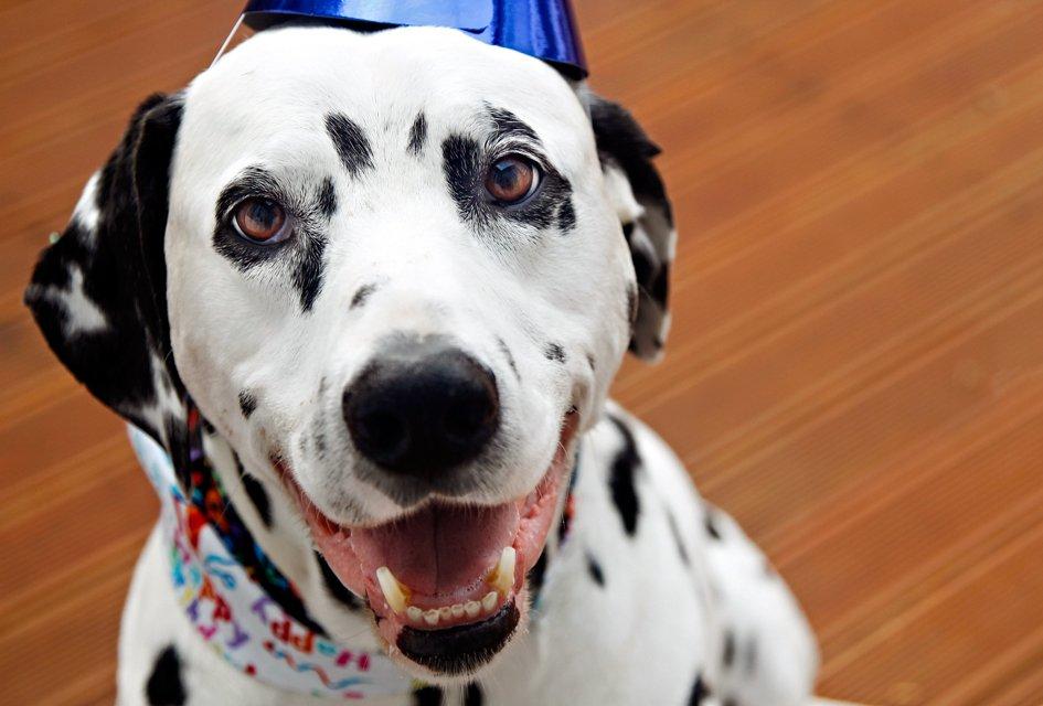 Oli the Dalmatian dog's 10th birthday party celebrations