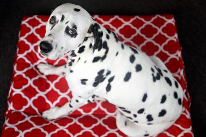 Dalmatian dog sitting on a DIY waterproof box cushion pet bed cover