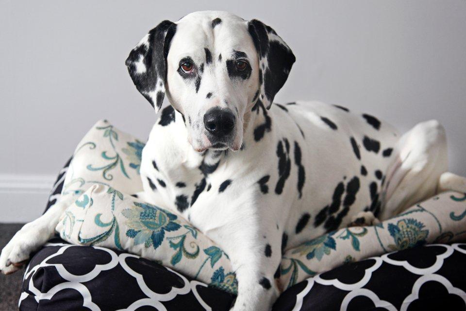 Dalmatian dog on DIY dog bed cushions
