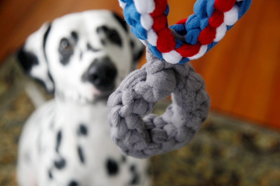 Dalmatian dog receiving a silver medal dog tug toy