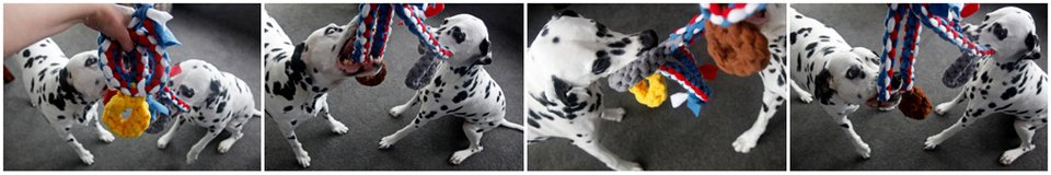 Dalmatian dogs playing with homemade medal dog tug toys