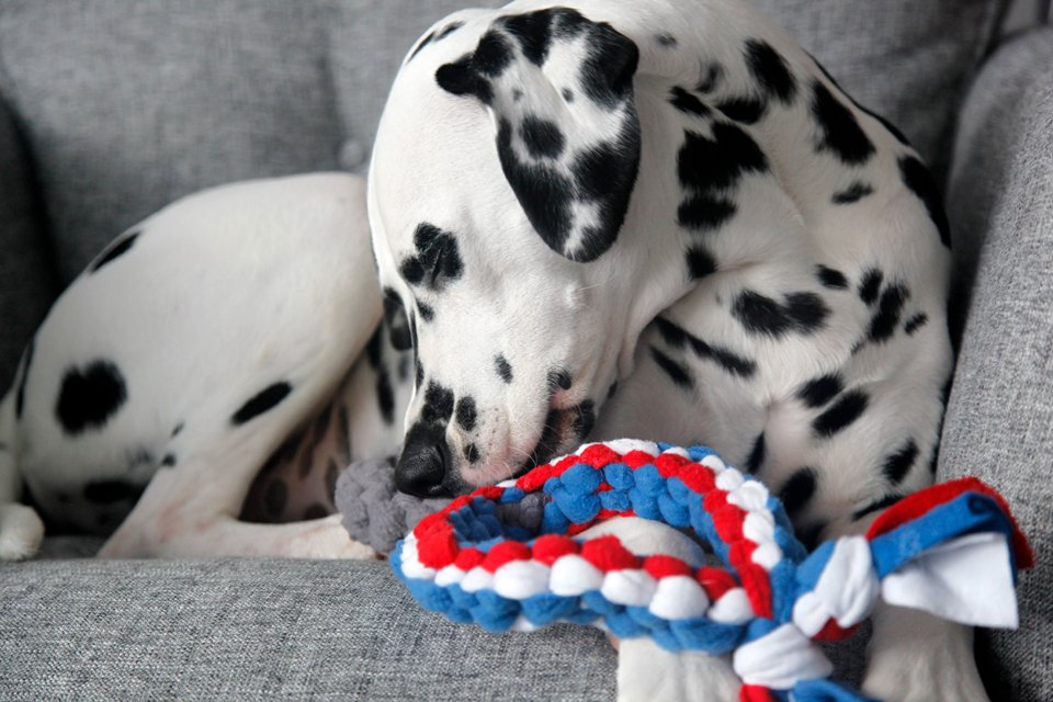 Dalmatian dog nibbling on a silver medal dog tug toy