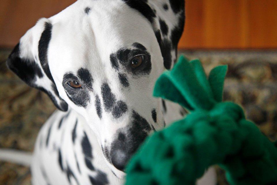 Dalmatian dog playing with homemade loop dog tug toy