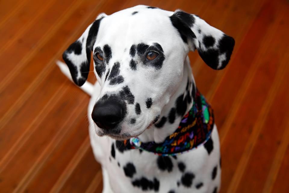Humphrey the Dalmatian dog's 2nd birthday party celebrations