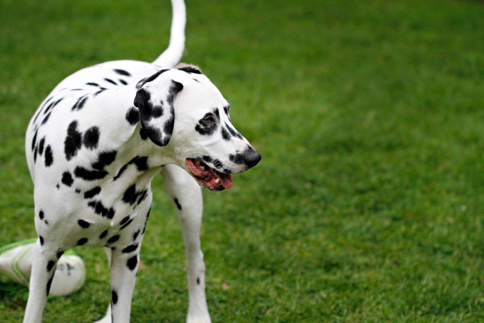 Dalmatian dog playing on open green lawn