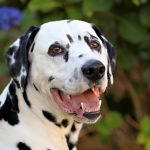 Dalmatian dog enjoying the pet-friendly home garden
