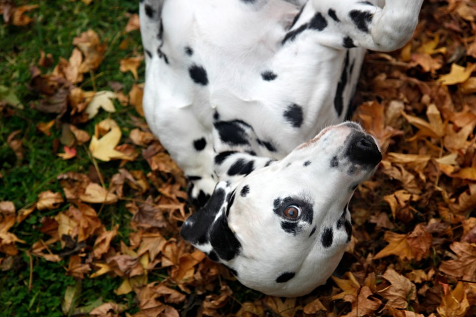 Dalmatian dog rolling in the leaves