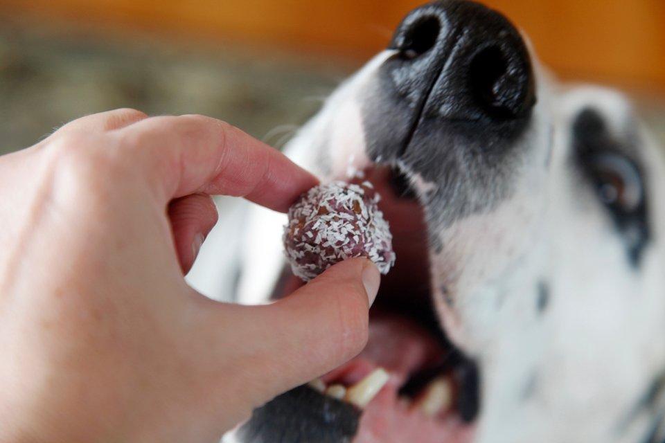 Dalmatian dog eating a homemade berry bliss ball truffle dog treat
