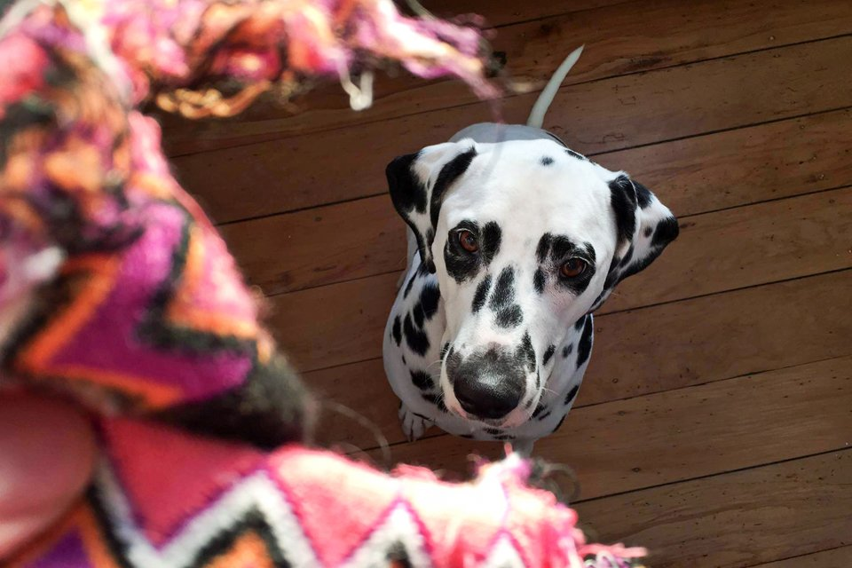 Dalmatian dog looking at ripped up sock