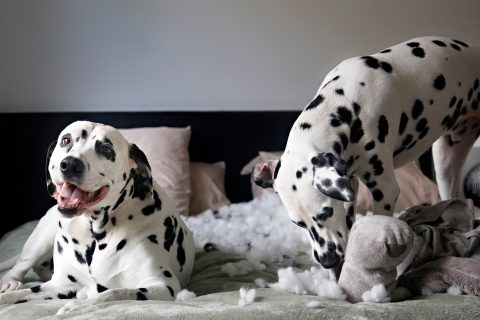 Dalmatian dogs ripping stuffing out of toy