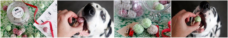 Dalmatian dogs eating homemade truffle Christmas treats