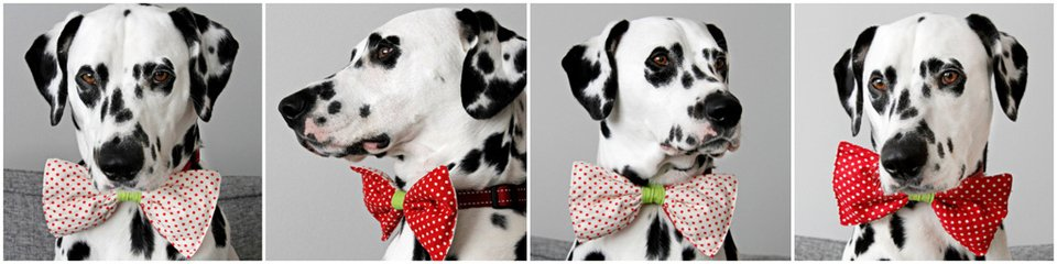 Dalmatian dog modelling a polka dot reversible dog collar bow tie