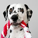Dalmatian dog with DIY twisted double spiral tug toy