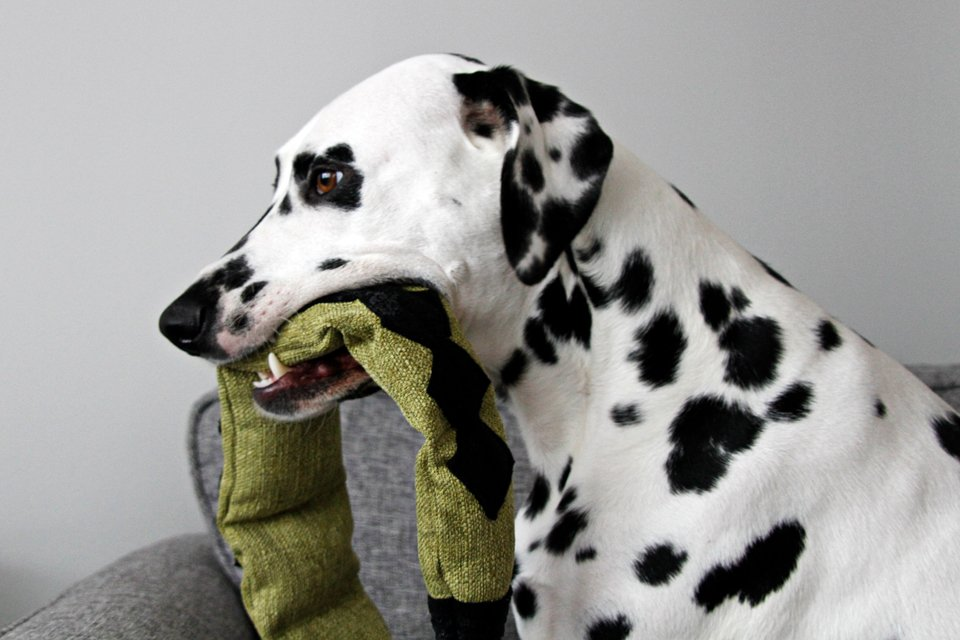 Dalmatian with DIY snake dog toy