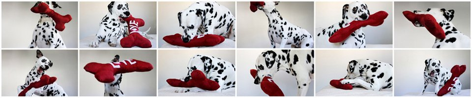 Dalmatian dog playing with a DIY stuffed squeaky bone dog toy