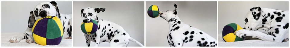 Dalmatian dog playing with a homemade coloured ball stuffed toy