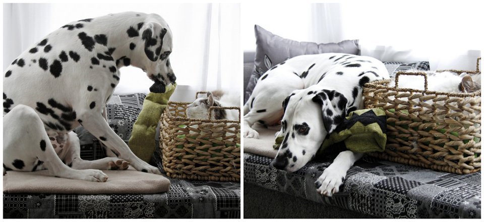 Dalmatian dog trying to get cat to play with his toys