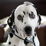 Dalmatian dog in a doctor's costume