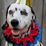 Oli the Dalmatian dog's 11th birthday party celebrations