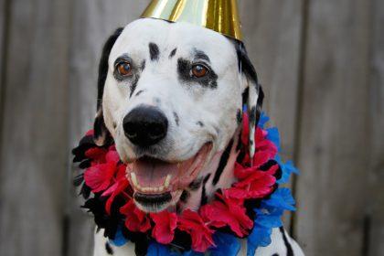 Oli the Dalmatian dog's 11th birthday party celebrations