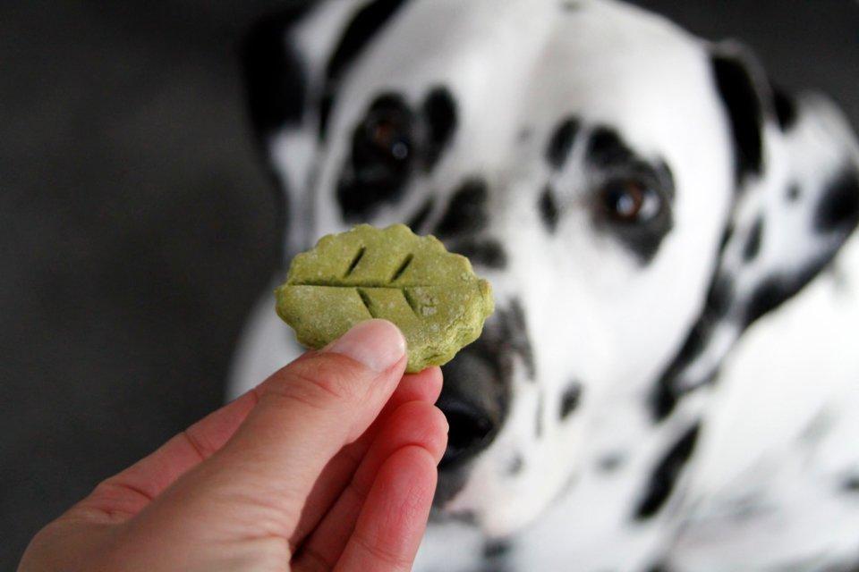 Dalmatian dog looking at a homemade leaf shaped treat