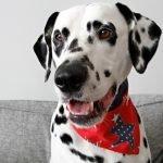 DIY reversible red white and blue stars dog bandana