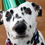 Humphrey the Dalmatian dog's 3rd birthday party celebrations