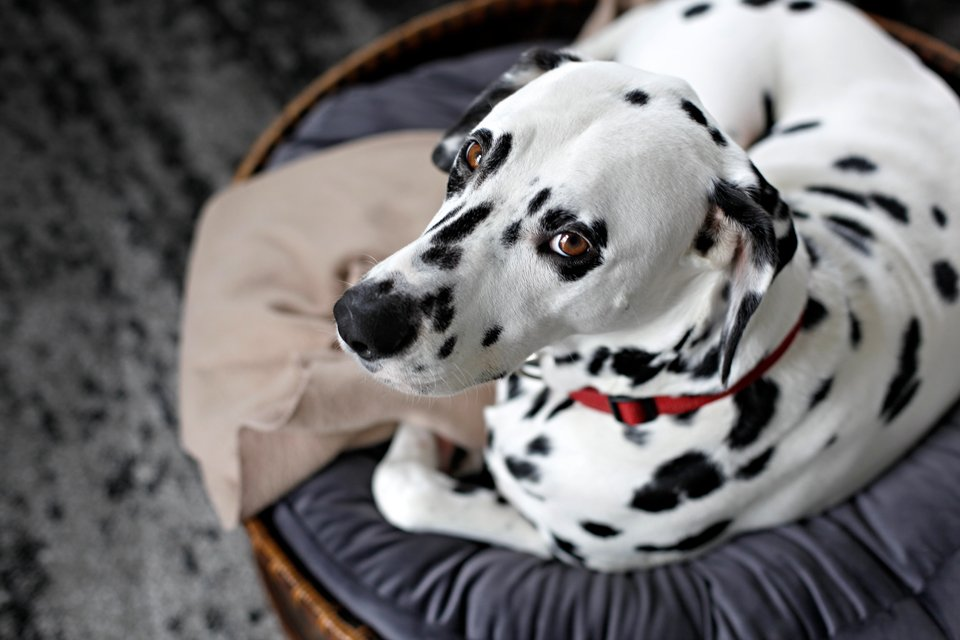 Dalmatian resting on a cushion in a big basket dog bed