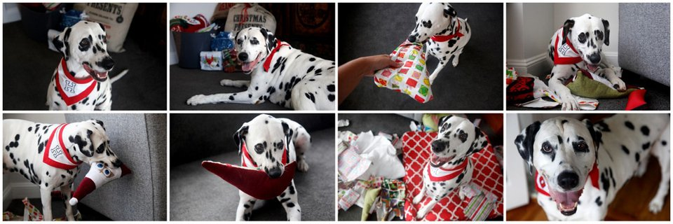 Christmas morning with the blog dogs of Dalmatian DIY