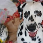 Smiling Dalmatian dog with torn Christmas wrapping paper