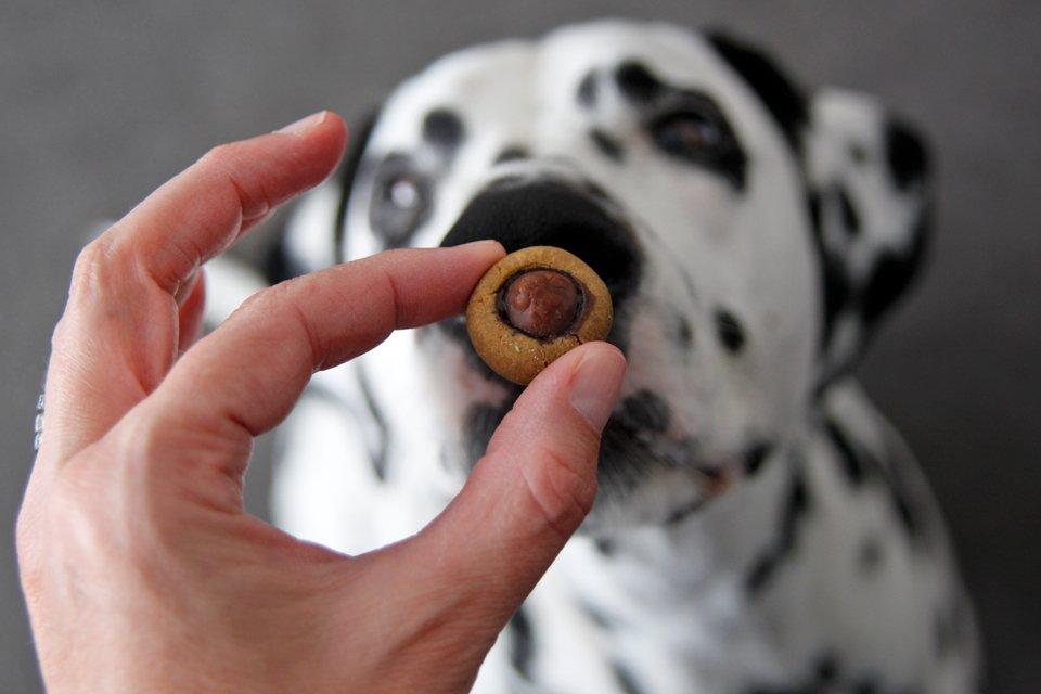 Dalmatian dog looking at a homemade dog treat topped with a carob kiss